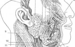 Что такое слюнные железы и где находится: анатомия, функции, заболевания и их лечение