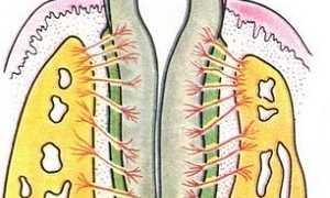 Cтроение и функции тканей периодонта: виды и причины заболеваний