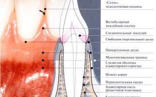 Строение десны: маргинальная, кератинизированная и альвеолярная