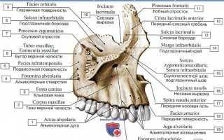 Челюсть: анатомия верхней и нижней части челюстного аппарата