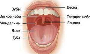 Полость рта: анатомия, строение и функции, схема, отделы, какая среда