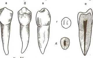 Премоляры – зубы с исключительной анатомией и универсальными функциями